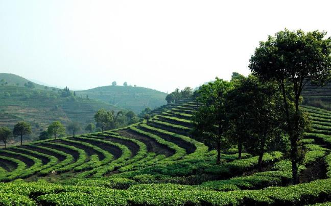 勐海县力推生态立茶与文化兴茶融合发展
