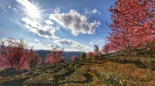 云南普洱:樱桃花开又一季