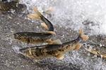 青海湖裸鲤资源量增至7.08万吨 为保护初期27倍多