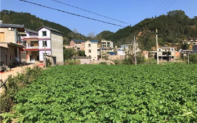 师宗县:冬早马铃薯成为群众增收的新渠道