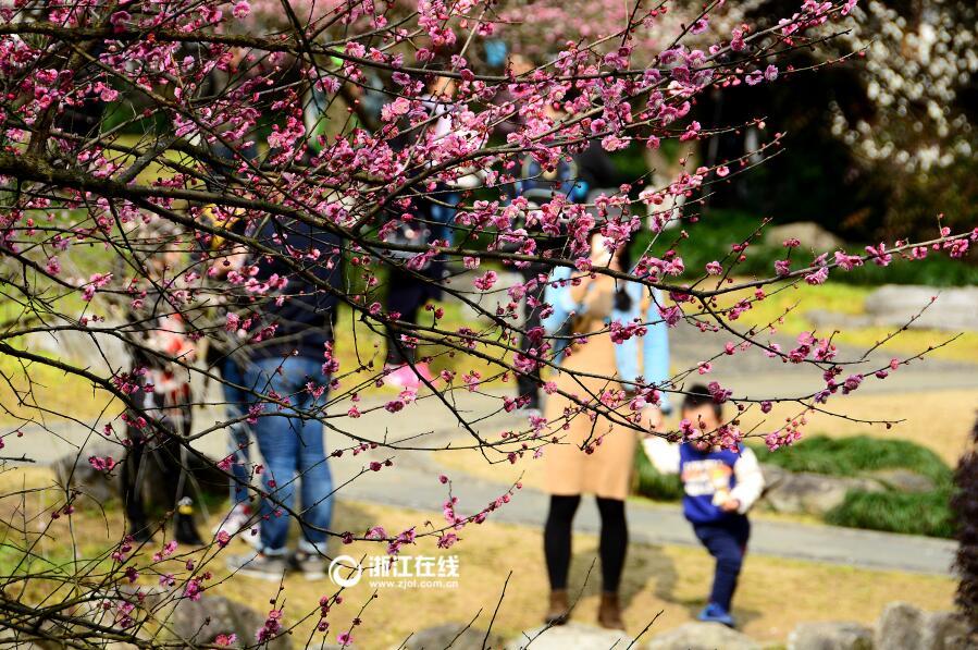 2月19日,天气晴好,杭州植物园灵峰的梅花已进入最佳观赏期.