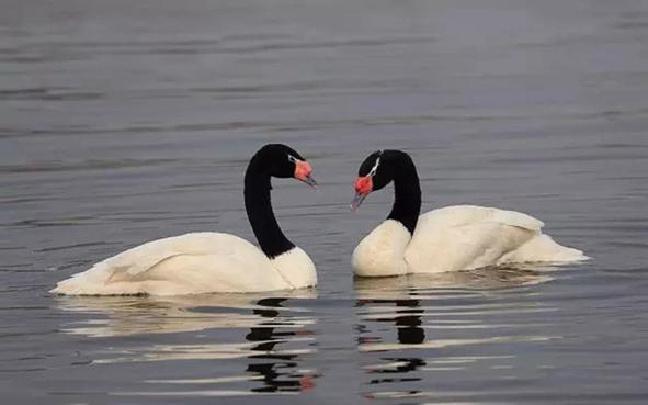 黑颈天鹅现身云南临沧玉龙湖
