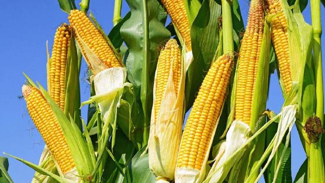 大连市今年继续调减籽粒玉米种植面积20万亩