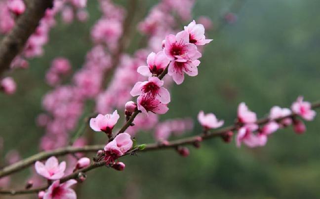 桃林花正旺 赏春正当时