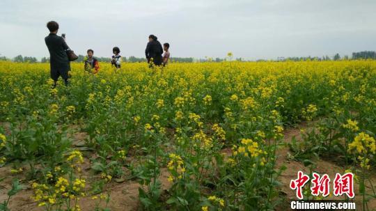 河北衡水邓家庄万亩油菜花竞放 引众多游客观赏