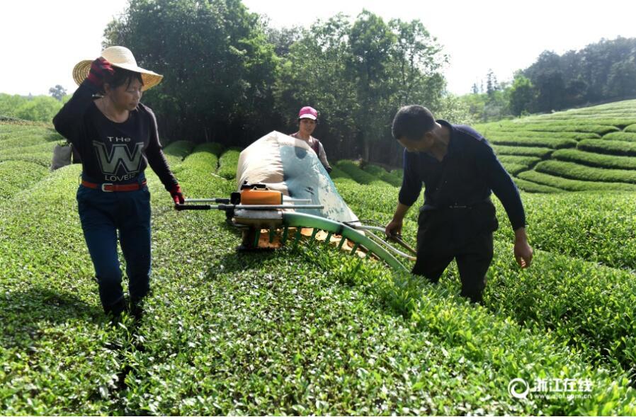武义:千余采茶机 抢采雨前茶