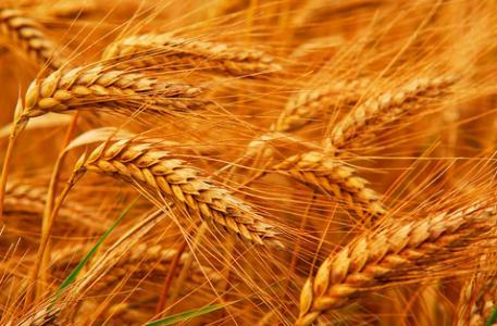 (信息)舞阳县举行优质绿色富硒小麦观摩会