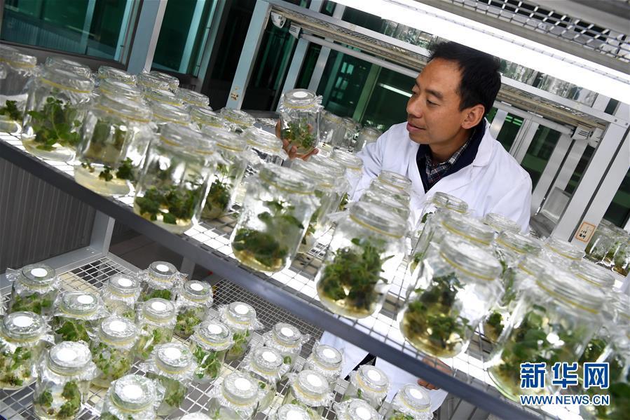 农艺师刘永康和他的地黄脱毒繁育世界