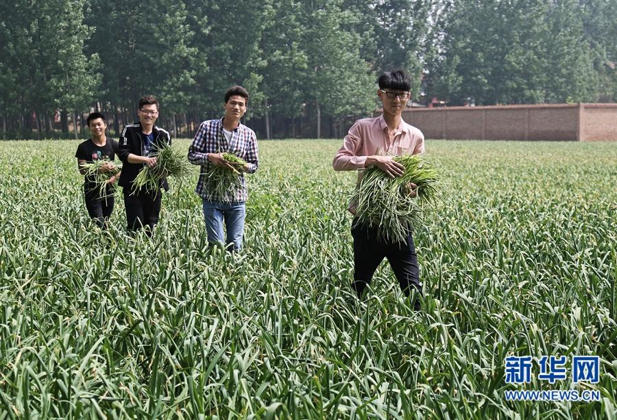大学生志愿帮农民摘蒜薹 体验田间辛苦