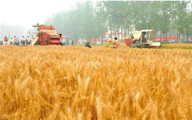 河南省已收获小麦2409万亩