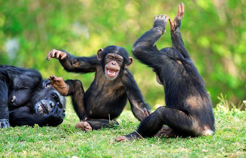 摄影师日前在非洲中部刚果的丛林里拍摄到一组有趣画面。两只黑猩猩不知道谈论到了什么话题,开怀大笑、乐不可支。 照片中,黑猩猩坐在草地上望着彼此,高兴得手舞足蹈;一只黑猩猩攀在妈妈的背上,悠闲在丛林游荡;另一只黑猩猩静静地站在石块上,品味美食。