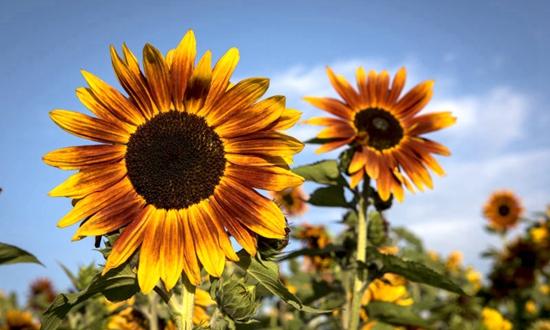 最近《种太阳》这首歌火了~再来看看火遍西宁朋友圈的太阳花!