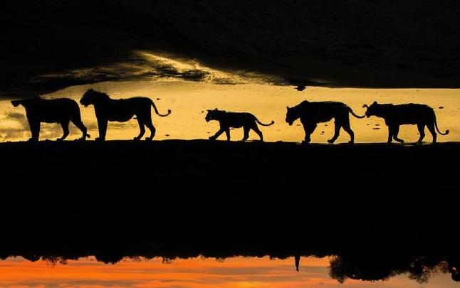 罕见非洲狮子排队喝水场面 再现狮子王片段