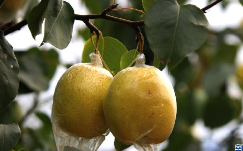 蓟州北部山乡红香酥梨喜获丰收