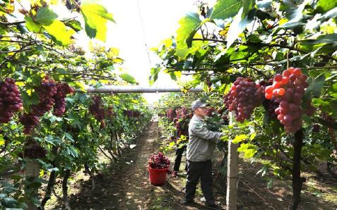 蓟州区马家庄千亩红提葡萄喜获丰收