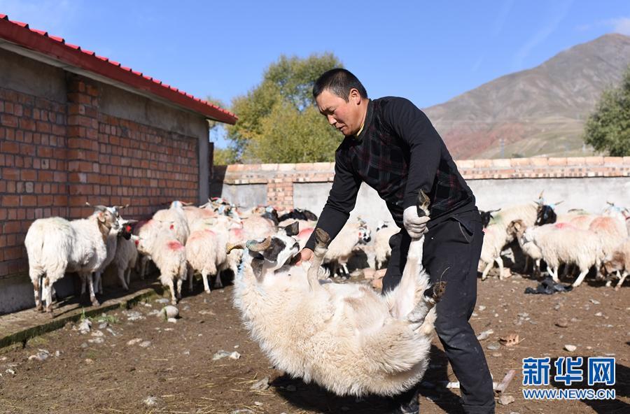"""合作社里天地宽——青海""""老羊倌""""赵学文的脱贫路"""