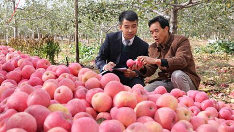 互联网:让苹果飞——陕西洛川果区采访见闻