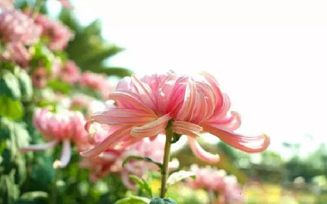 汇龙菊展花开正好 满园菊花争奇斗艳