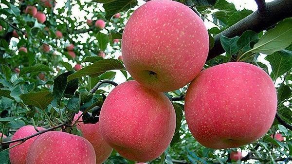 沈阳构建寒富苹果发展体系 推进标准化果园建设