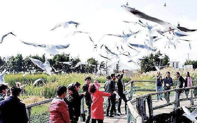 海鸥飞到昆明盘龙江 30吨鸥粮已备好