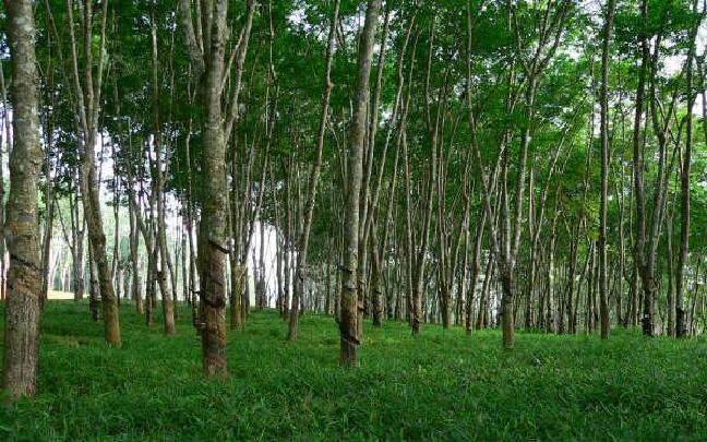云南景洪启动橡胶林热带雨林恢复改造工程