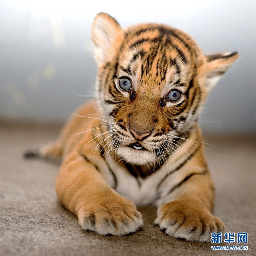 马来亚虎幼崽
