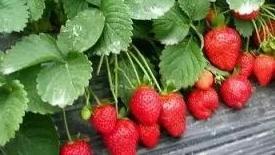 """""""神井""""草莓销售超2000万元"""