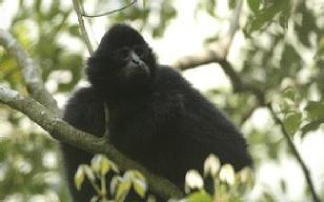 云南:罕见珍稀西黑冠长臂猿下树饮水
