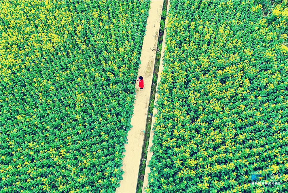 大地乐章|重庆多地油菜花盛开 美景如画