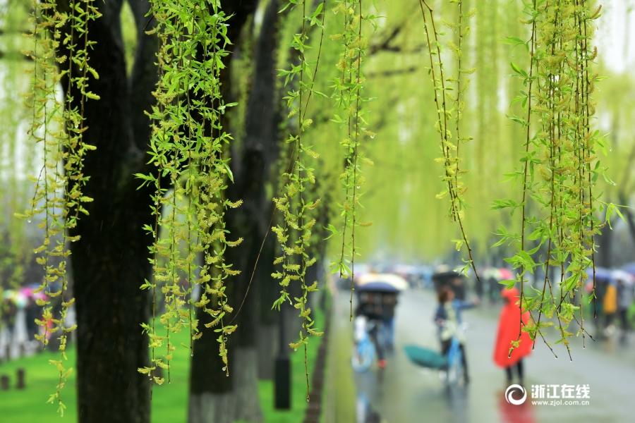杭州:春分将至 雨西湖春色浓