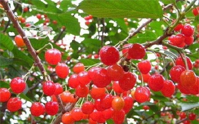 (信息)樱桃采摘成为河南旅游亮点