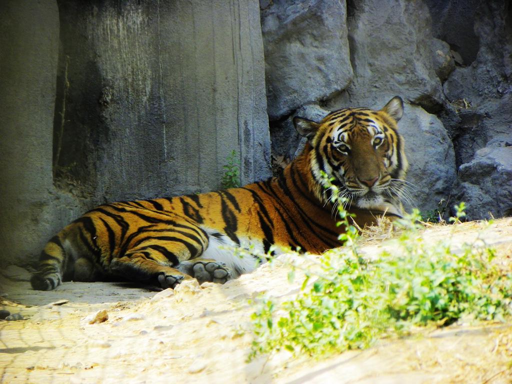 洛阳王城公园动物园里拍华南虎