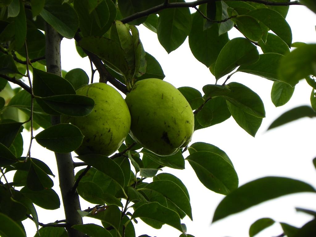 木瓜海棠果