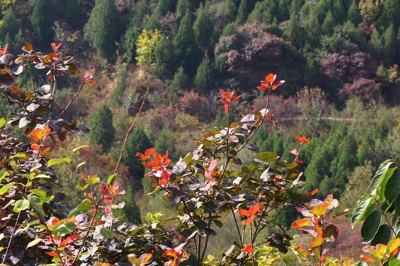 """【金秋赏红叶】到北京西山国家森林公园""""红叶大峡谷"""""""