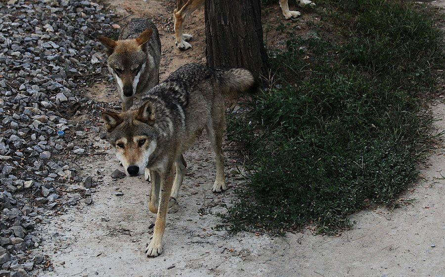 描述:秦皇岛野生动物园的散养狼---