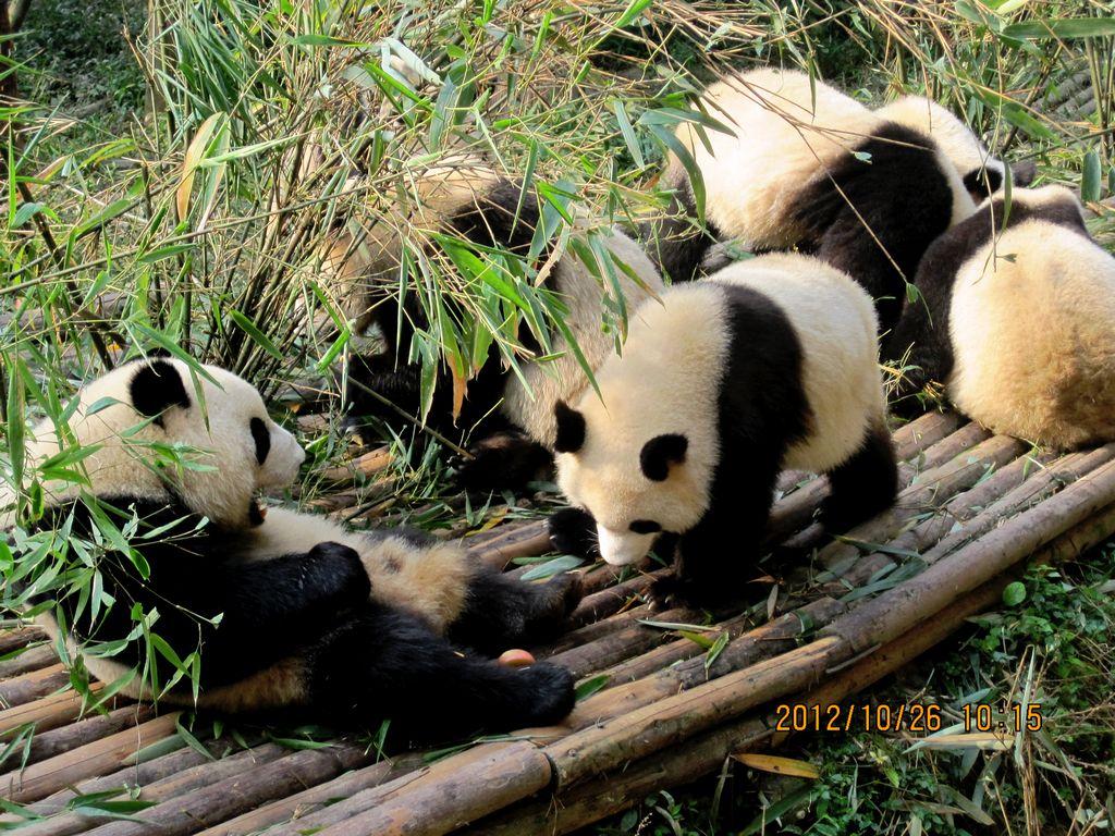 壁纸 大熊猫 动物 1024_768