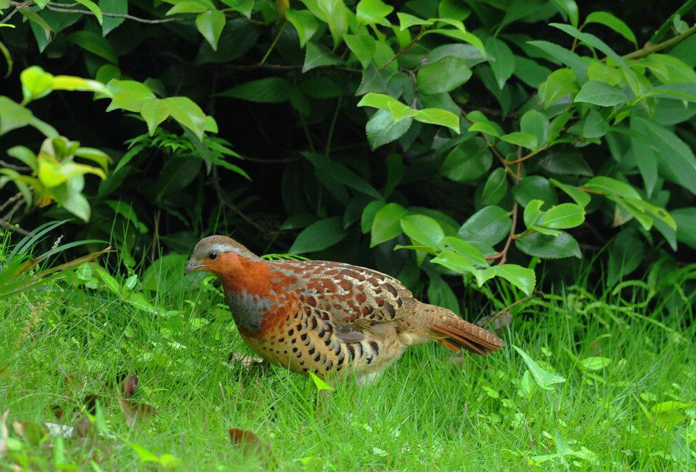 嫩鸡是无��la_生态摄影  灰胸竹鸡(学名:bambusicola thoracica)为雉科竹鸡属的鸟类