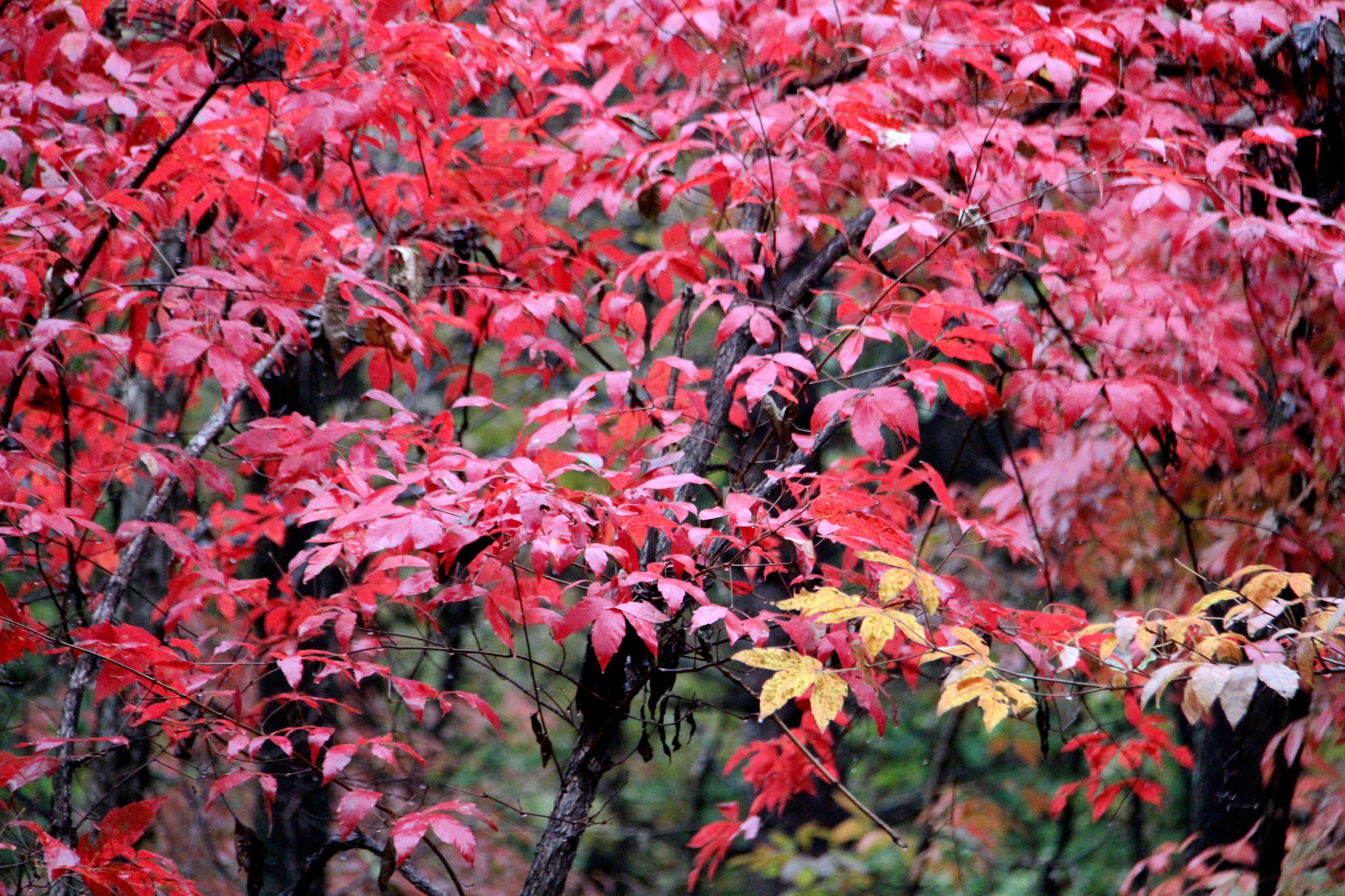 秋天的红叶-舒兰戏叶谷##雨中红叶谷##红叶翩翩舞秋风