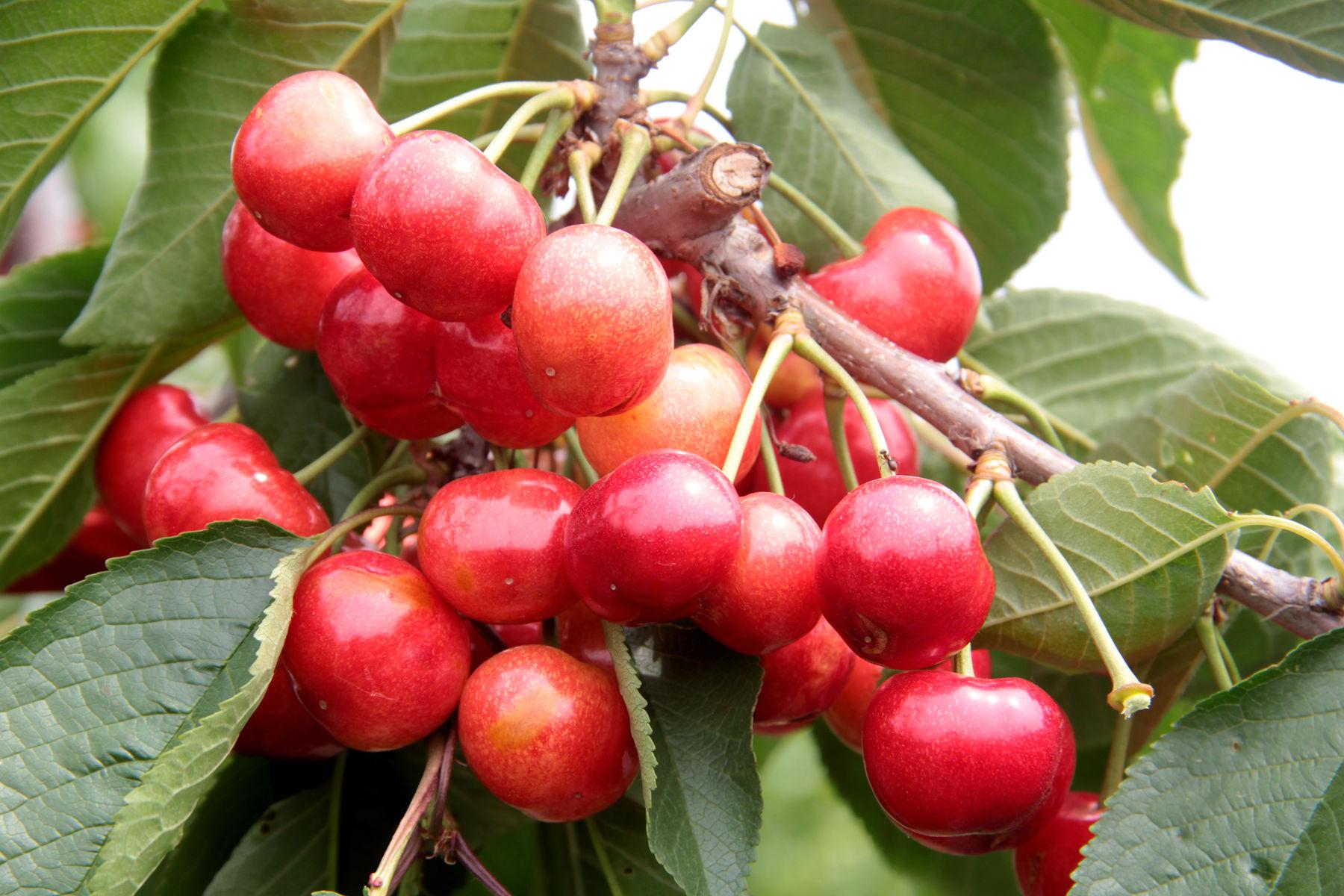 """樱桃""""水果中的钻石""""营养价值"""