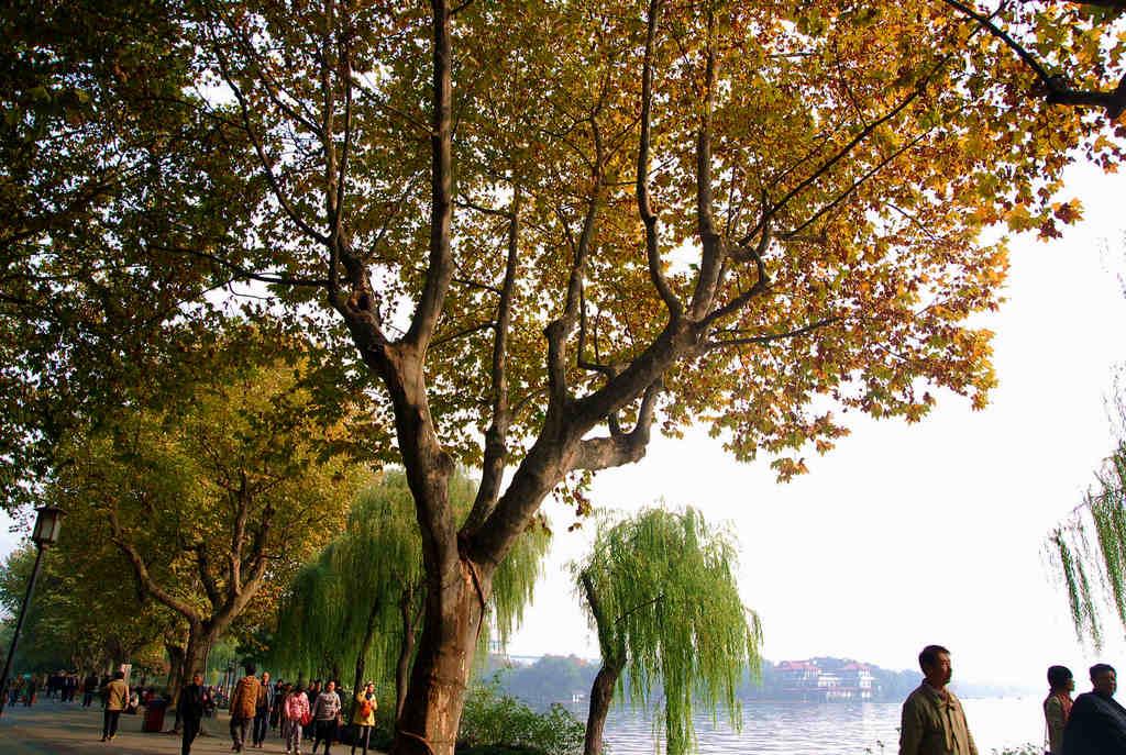杭州北山路法国梧桐迎秋天