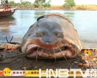 保护野生动物,从来也没见过这么大的鳇鱼