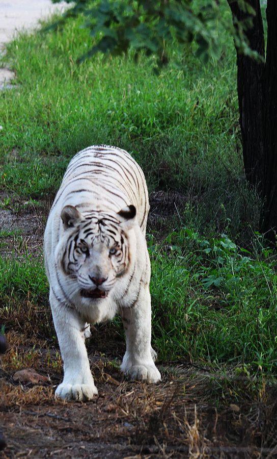 秦皇岛野生动物园的老虎
