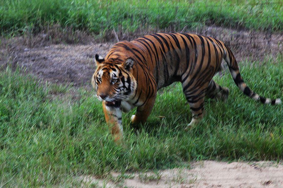 标题: 秦皇岛野生动物园的老虎
